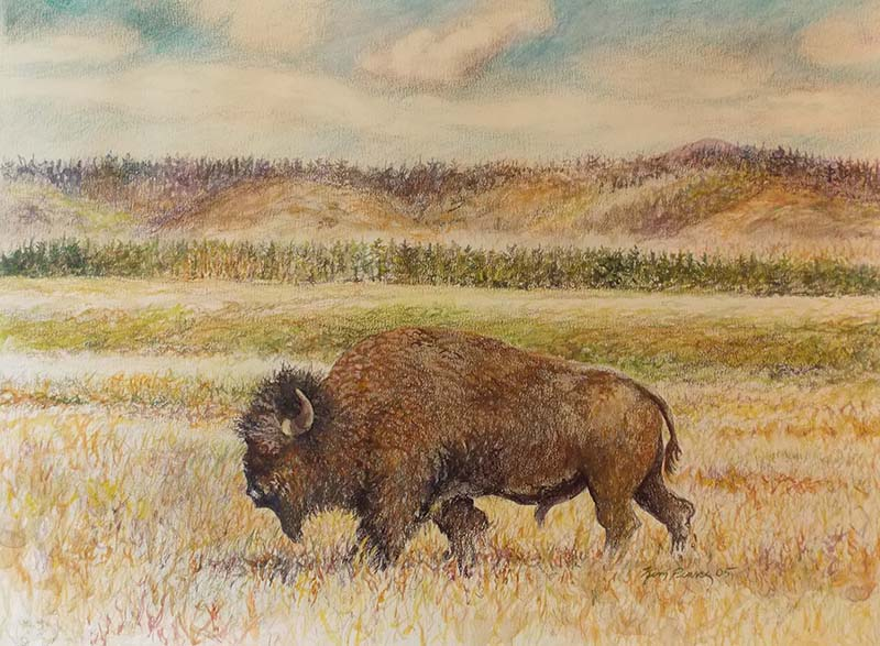Buffalo in Field Color Pencil